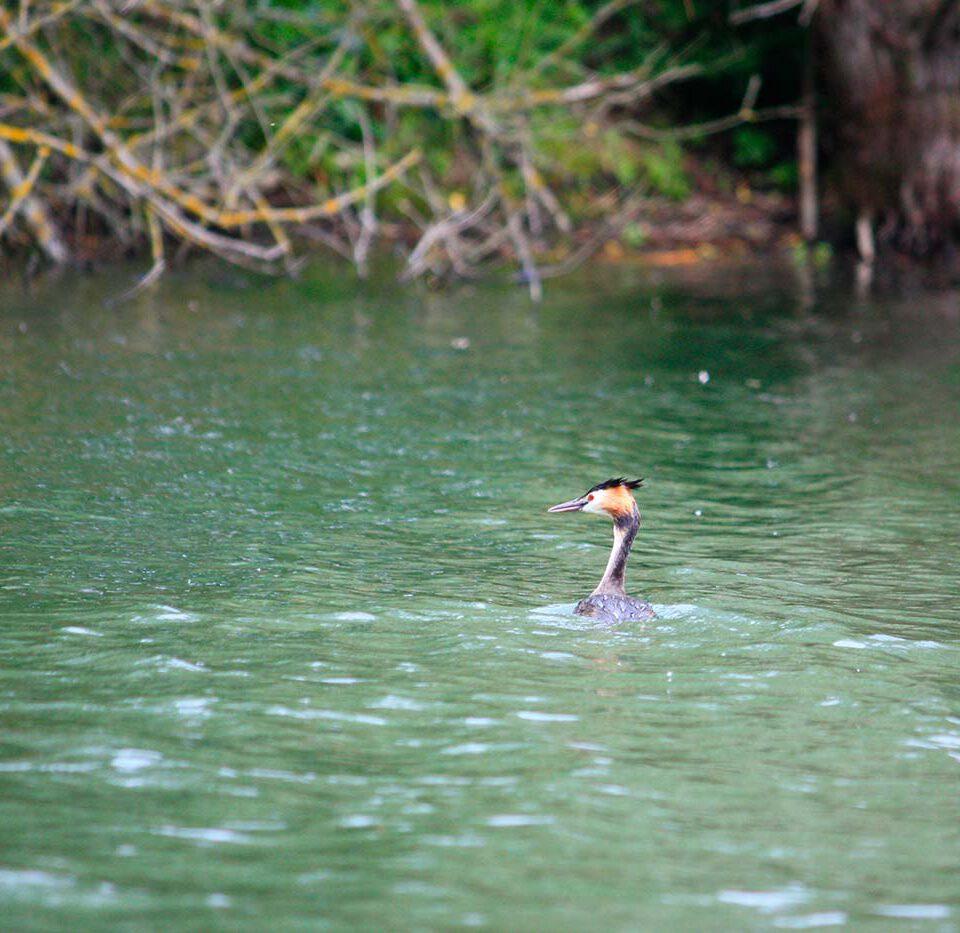 Haubentaucher im Bodensee